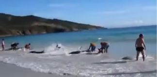 dolphins rescued by tourists at the beach