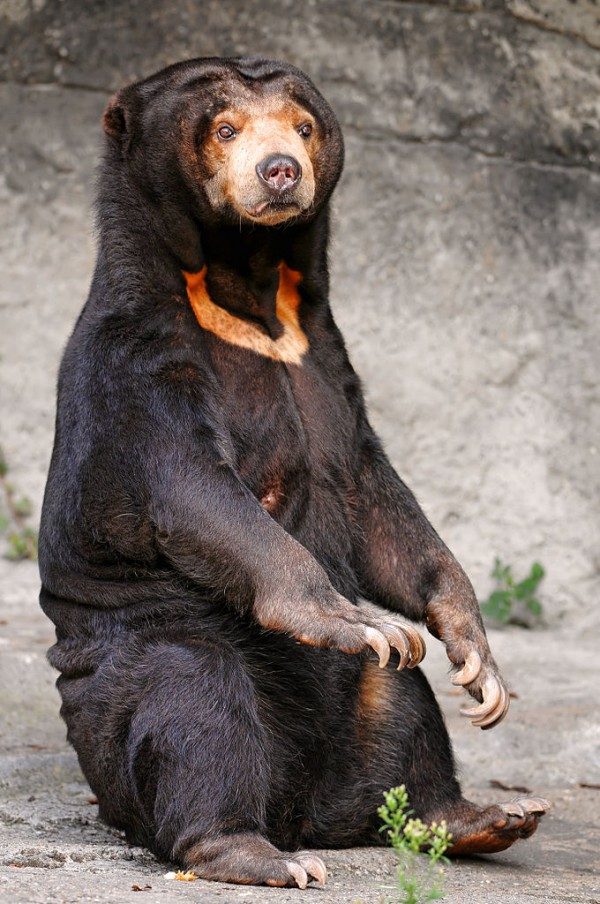 By Tambako The Jaguar (originally posted to Flickr as Sitting sun bear) [CC BY-SA 2.0], via Wikimedia Commons