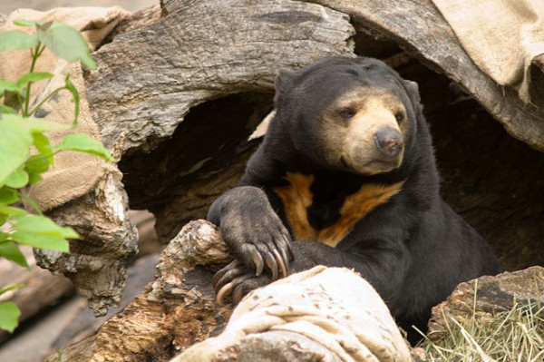 By Stuart Seeger from College Station, Texas, USA (Sun Bear) [CC BY 2.0], via Wikimedia Commons