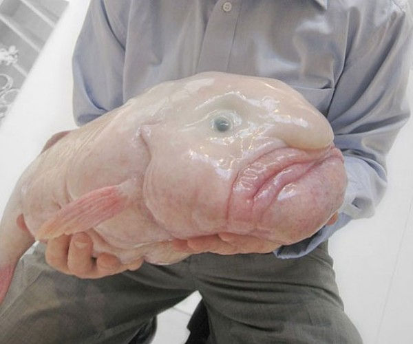 Blob Fish Photo credits:monsterfishworld.com