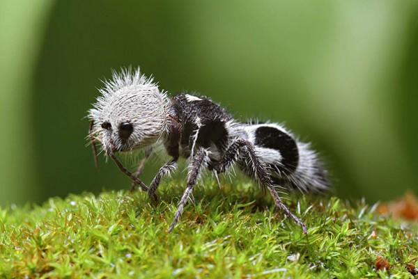 The Panda Ant Photo credits: Chris Lukhaup