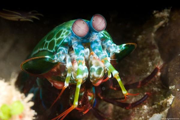 Mantis Shrimp Photo credits: Alexander Safonov