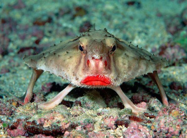 Red-lipped Batfish Photo credits:imgur