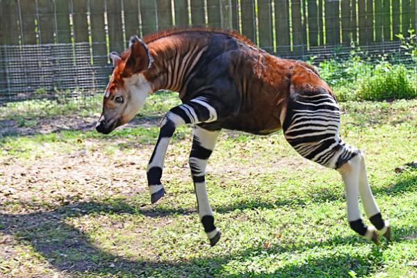 Okapi Photo credits: baynews9.com