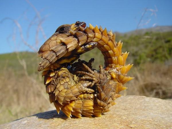 Thorny Dragon Photo credits:imgur
