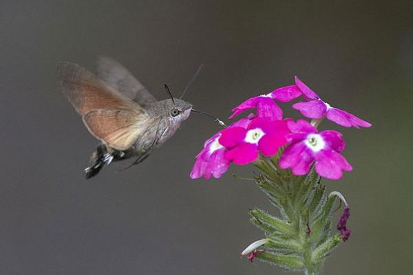 Hummingbird Hawk-Moth Photo credits:Jerzy Strzelecki