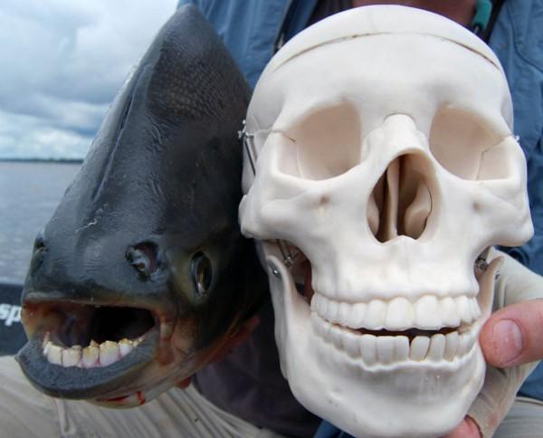 The Pacu Fish Photo credits: evolvingcomplexityii