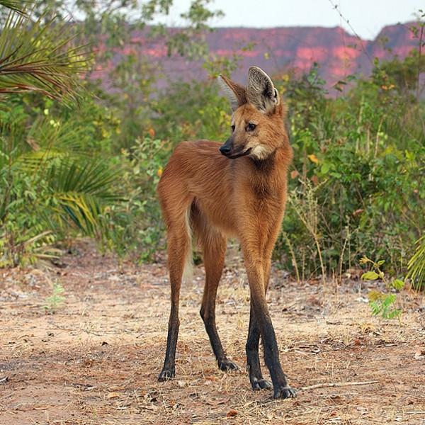 The Maned Wolf Photo credits: imgur