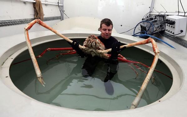 Japanese Spider Crab Photo credits: telegraph.co.uk