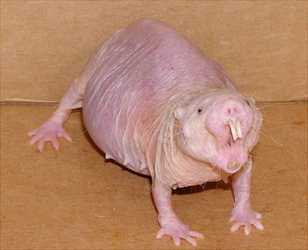Naked Mole Rat Photo credits: extremelongevity.net