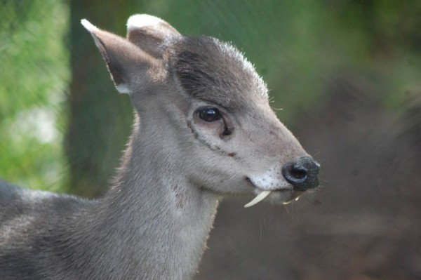 Tufted Deer Photo credits:zoochat.com