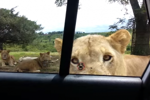 Did You Know Lions Can Open a Car Door? Safari Tourists Learn the Hard Way