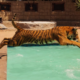 tiger swimming with human