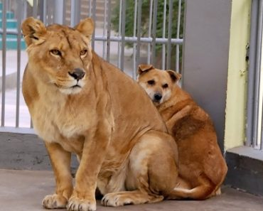 Dog Escapes to Zoo, Finds Refuge in Lion Cage to Hide from Abusive Owner