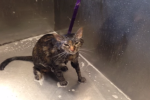 """Cat's Hilarious Reaction to a Bath Goes Viral: """"No More"""" Meows!"""
