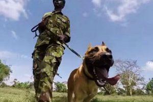 Dog Hunts Rhino Poachers in Africa