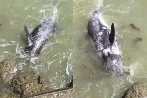 Disturbing Video Shows Dolphin Desperately Trying to Escape Hunters in Japan