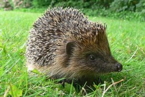 Hedgehogs Could Be Wiped off the Face of Earth in Just 10 Years