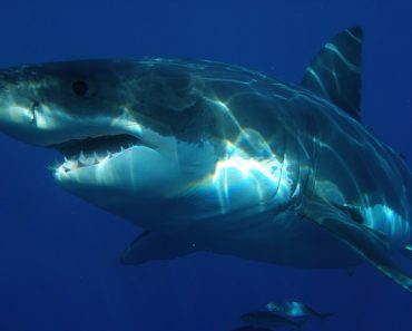 Great White Sharks Attracted to Heavy Metal Music