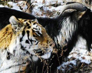 Rare Friendship Blossoms Between a Tiger and a Goat inside a Russian Safari Park