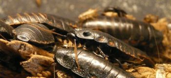 Cockroaches' Poop Bring Them Together
