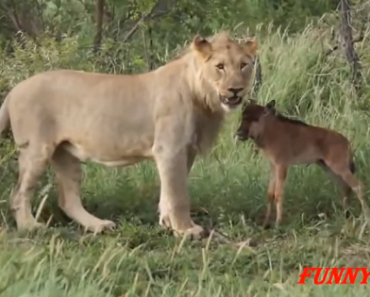 Cute Video: Lions with Baby Animals as Pets