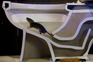 WATCH: Rats Can Infest Your Home By Entering Through Toilets