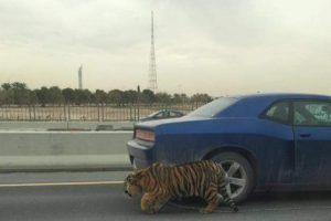 Escaped Tiger Spotted Roaming Along a Busy Highway in Qatar
