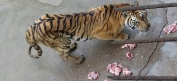 Tigers Allegedly Starved to Death to Make Bone Wine in China