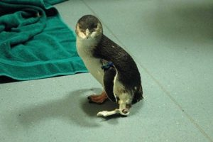 Amputee Penguin Gets 3D-Printed Foot