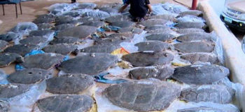 100 Endangered Turtles Found Dead in Abandoned Motorboat in Palawan