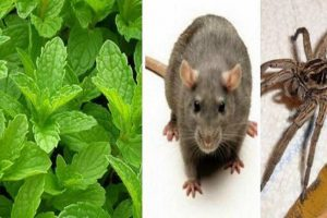 Fresh Mint Plant Can Help You Get Rid of Mice, Spiders, and Insects at Home