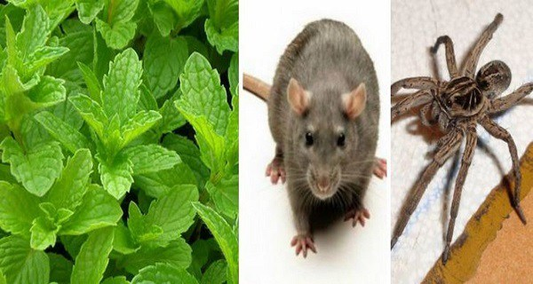 Fresh Mint Plant to Get Rid of Mice, Spiders, and Insects