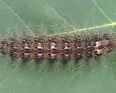 Meet the World's Deadliest Caterpillar