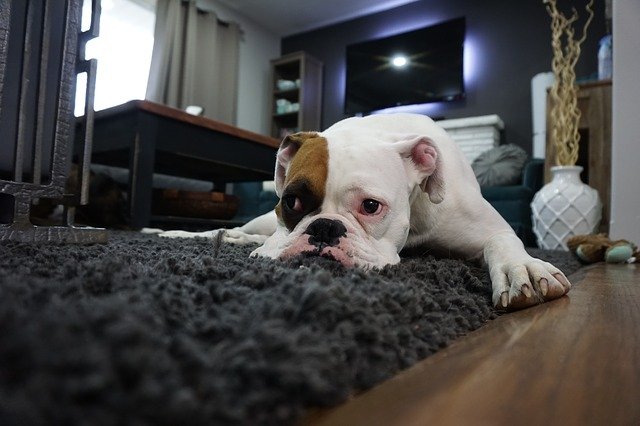 dog-watch-tv