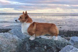 Internet Mourns the Passing of Celebrity Dog, Loki the Corgi