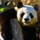 panda-2_opt
