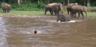 elephant-rescues-man