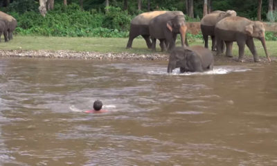 elephant-rescues-man