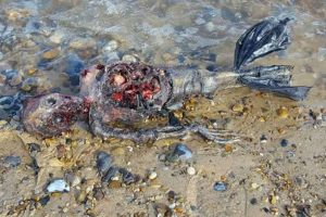 """Decaying Body of a """"Dead Mermaid"""" Washed up on a British Beach"""