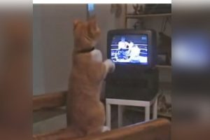 This 'Boxer Cat' is a Big Boxing Fan!