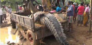 giant-crocodile-rescued-sri-lanka