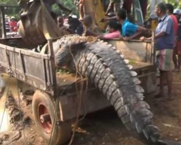 Giant Crocodile Stuck In Canal Gets Rescued And Released In Sri Lanka