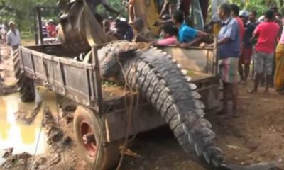 giant-crocodile-rescued-sri-lanka