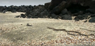 iguanas escaping from snakes