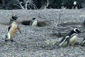"WATCH: Penguin vs ""Homewrecker"" Bloody Fight Video Makes Waves Online"