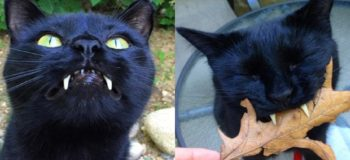 LOOK: This Cat has 'Vampire' Fangs!