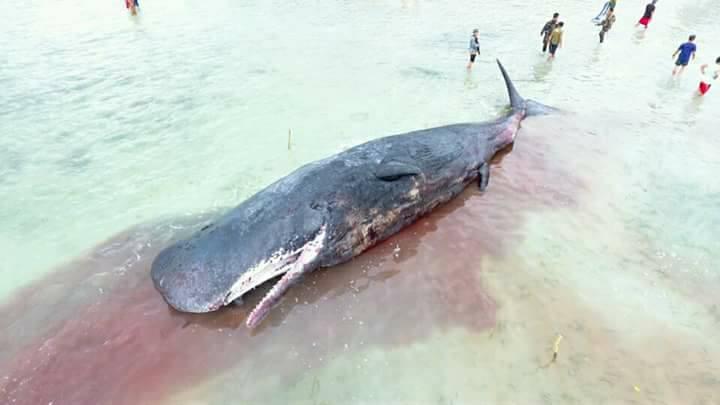 dead sperm whale 1