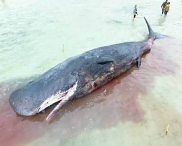 Residents and Beachgoers Discover A Beached Giant Sperm Whale In Samal