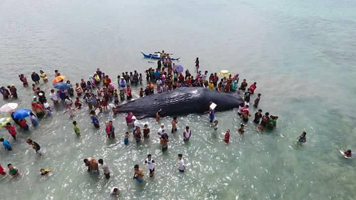 dead sperm whale 5